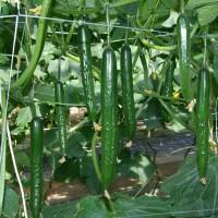 早くから良く穫れる耐病性品種 キュウリ『G(グリーン)・フラッシュ』 とにかくおいしい!